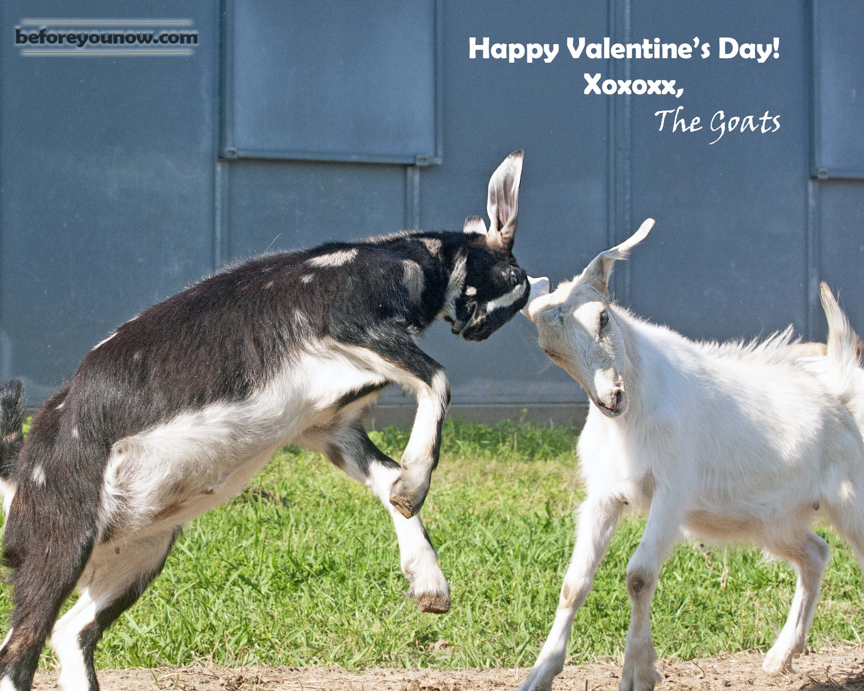 Valentine's Day Goats