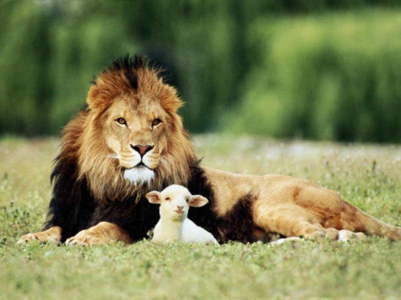 lion-and-the-lamb10