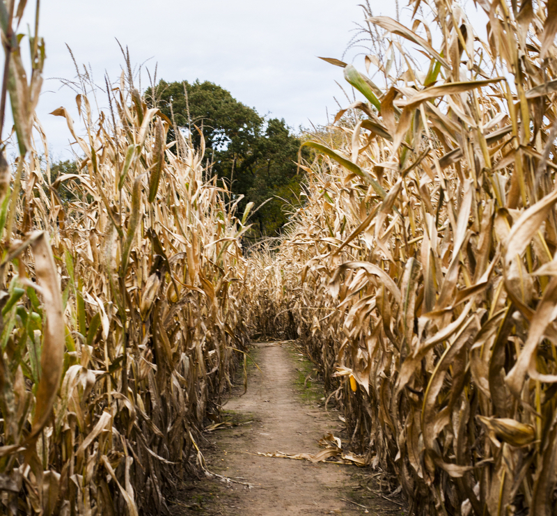 corn path small