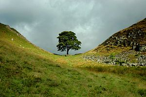 300px-Sycamore_Gap,_The_Tree