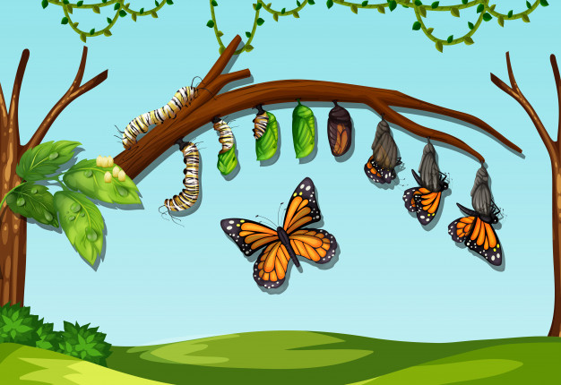 butter-fly-life-cycle 2